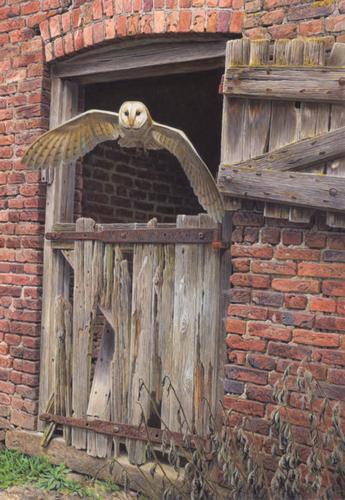 Barn owl illustration by Andrew Hutchinson