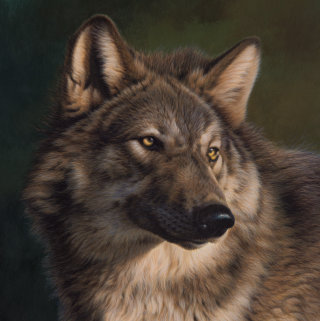 Wolf - Wildlife illustration