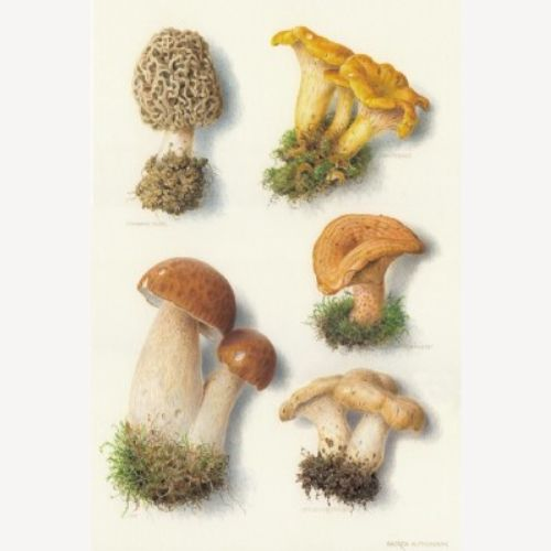 Fungus Illustration, Mushroom images © Andrew Hutchinson