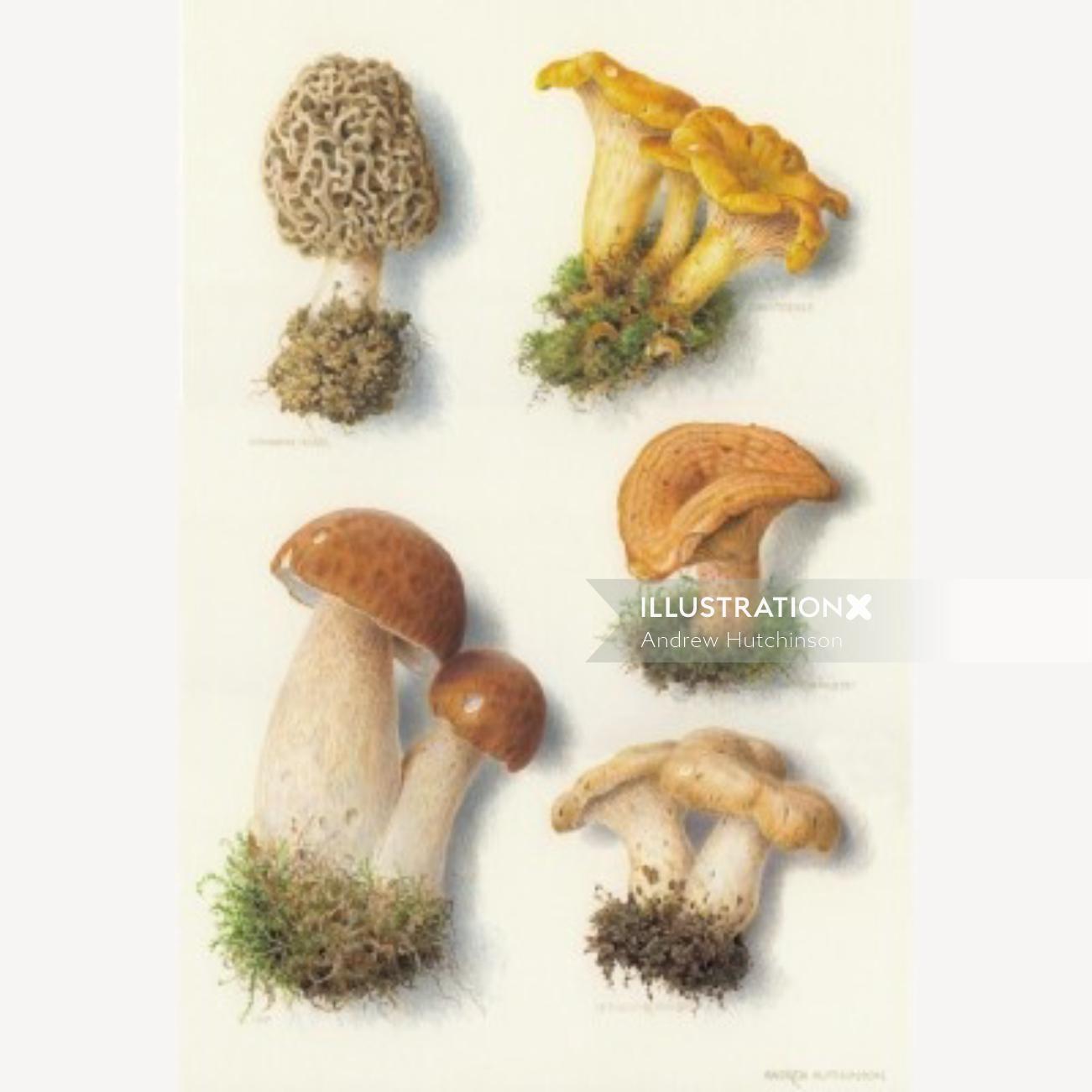 Fungus Illustration, Mushroom images © Andrew Hutchinson