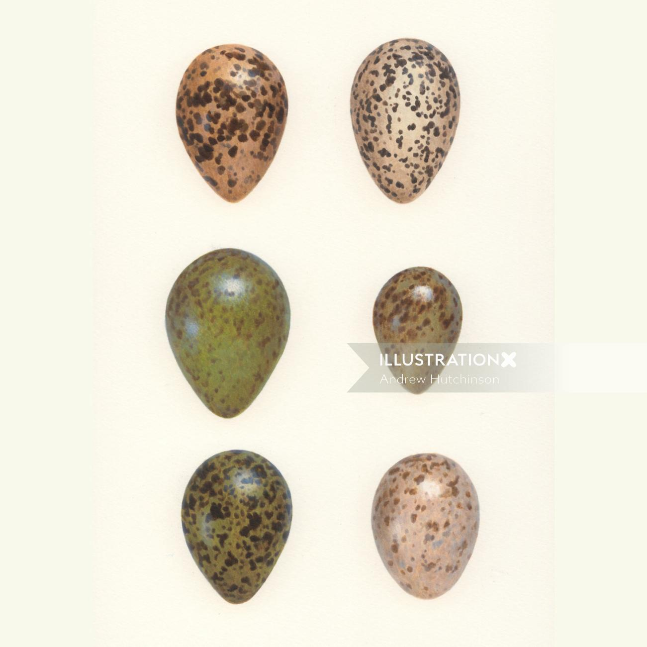 Bird Eggs Illustration, Birds and Wildlife images © Andrew Hutchinson