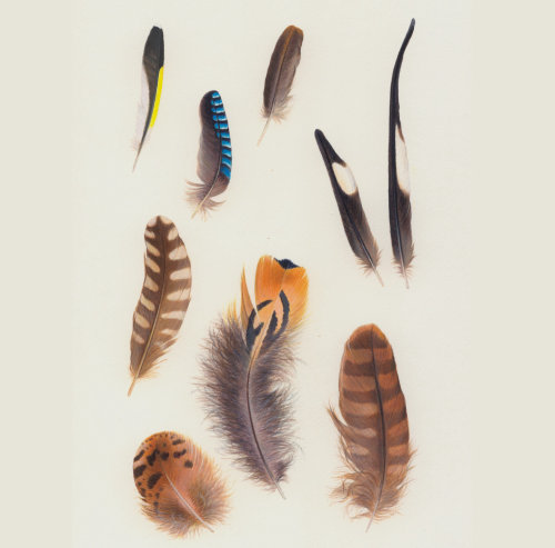 Illustration of Bird feathers