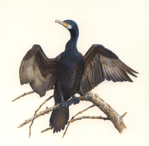 Cormorant illustration by Andrew Hutchinson