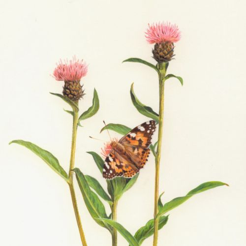 Butterfly on knapweed - An illustration by Andrew Hutchinson