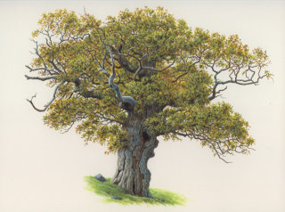 Oak acorn tree  illustration by Andrew Hutchinson
