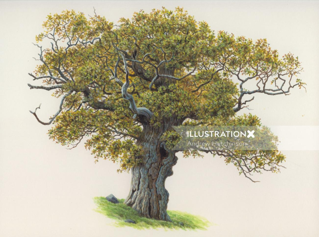 Oak acorn tree  illustration by Andrew Hutchinson