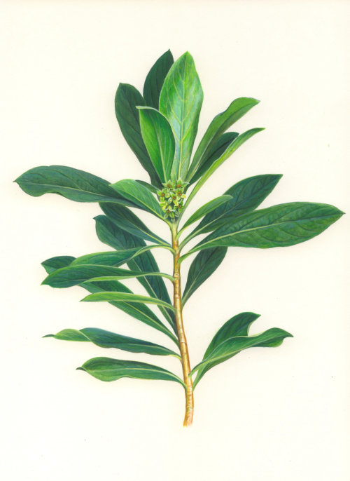Laurel plant illustration by Andrew Hutchinson