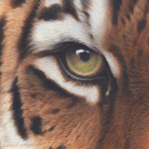 Tiger eye illustration by Andrew Hutchinson