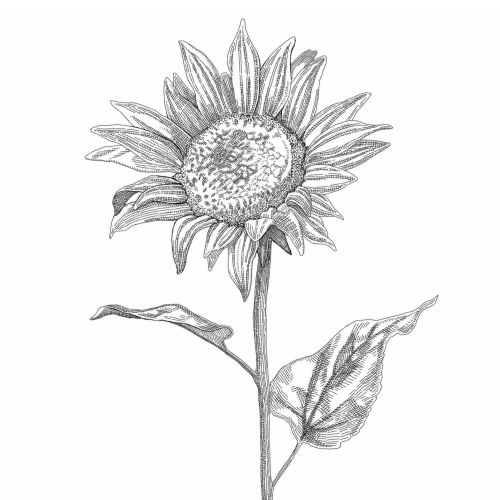Sun flower black and white sketch art