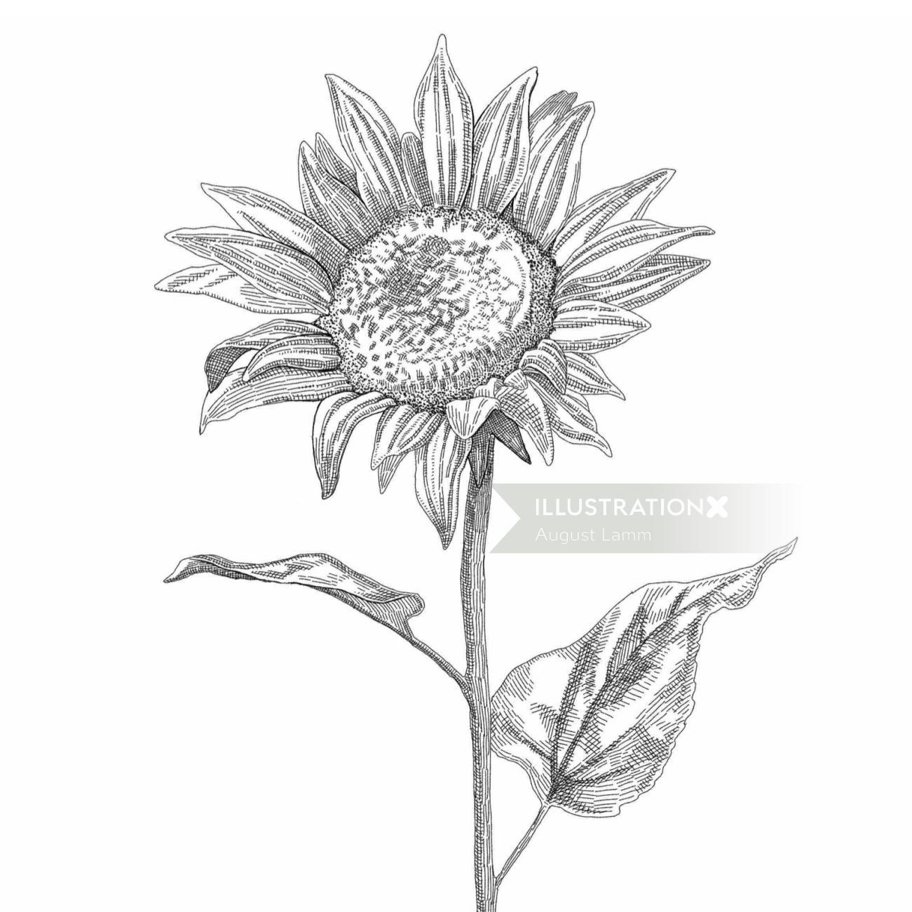 Sun flower black and white sketch art