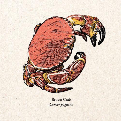 Vintage art of brown crab