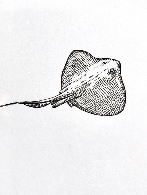 Desenho a lápis de Batoidea