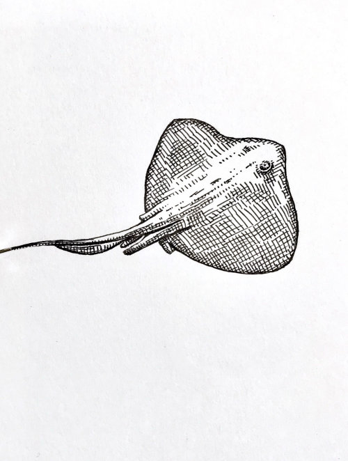 Batoidea的铅笔画