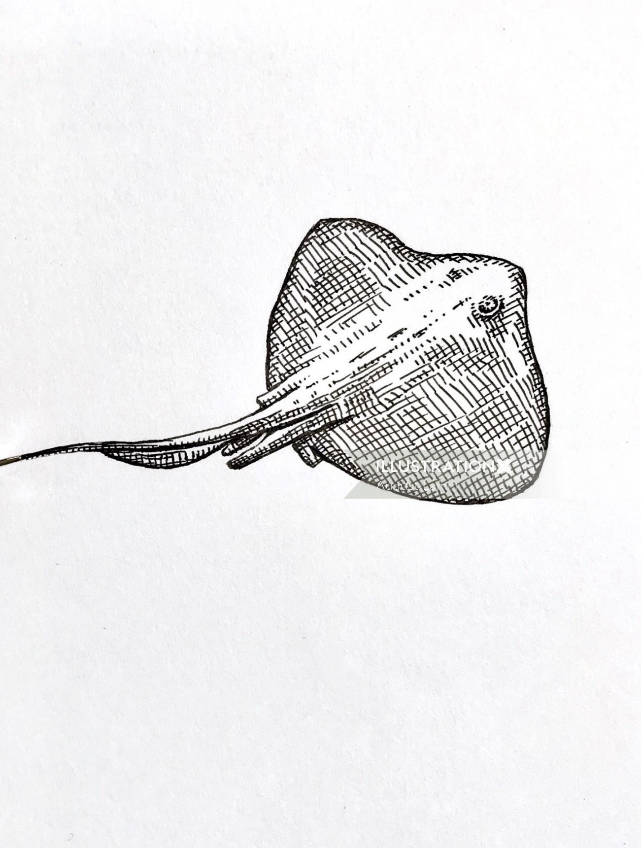 Pencil drawing of Batoidea