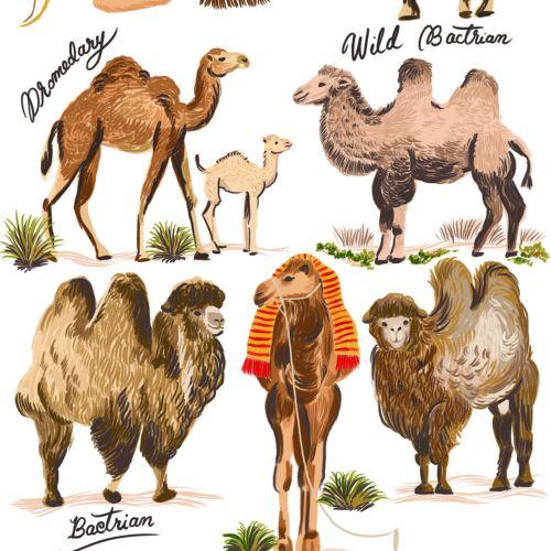 Animal different camel breeds