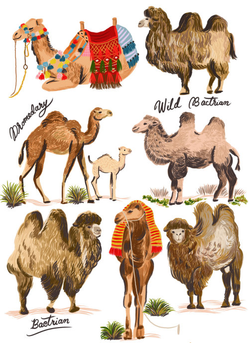 Animal different camel breeds