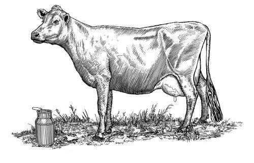 Line art of Animal Cow