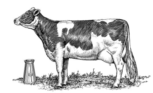 Black and white illustration of Dairy Cow