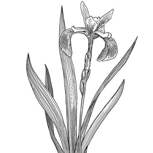 Blue Flag flower black and white illustration