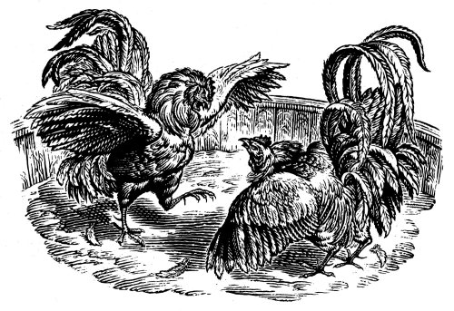 The Fighting Cocks animal illustration