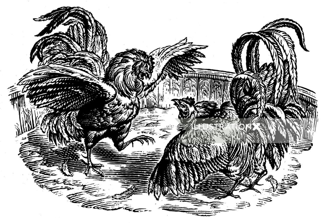 The Fighting Cocks animal illustration