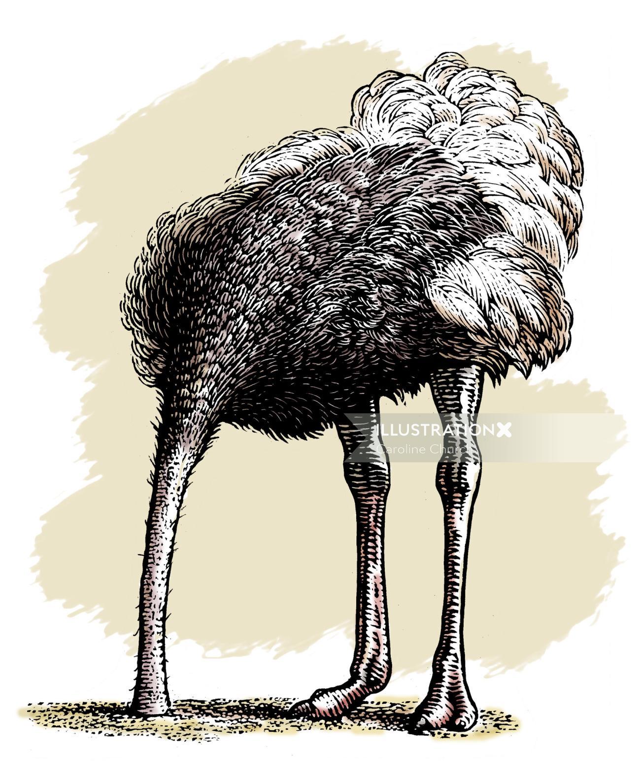 Emu Birds animal illustration