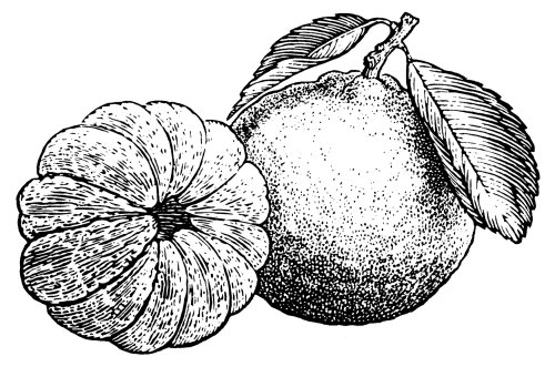 Black and white drawing of fruits