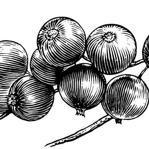 Sketch art of onions