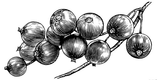 Sketch art of onions