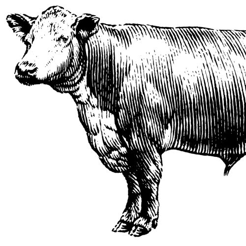 Cow black and white animal illustration