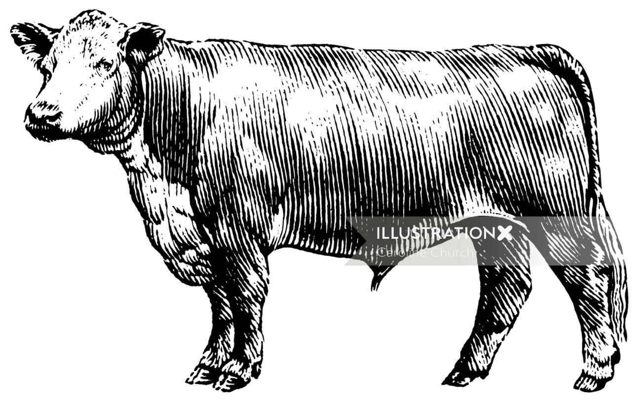 Cow black and white animal illustration