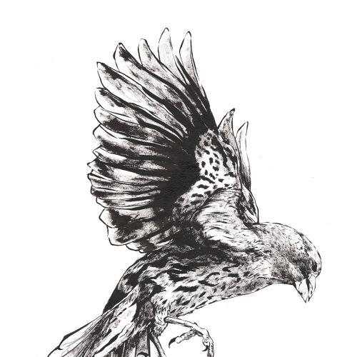 Black & White eagel flying