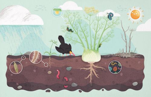 Ilustración que muestra el ciclo de crecimiento de una planta de hinojo