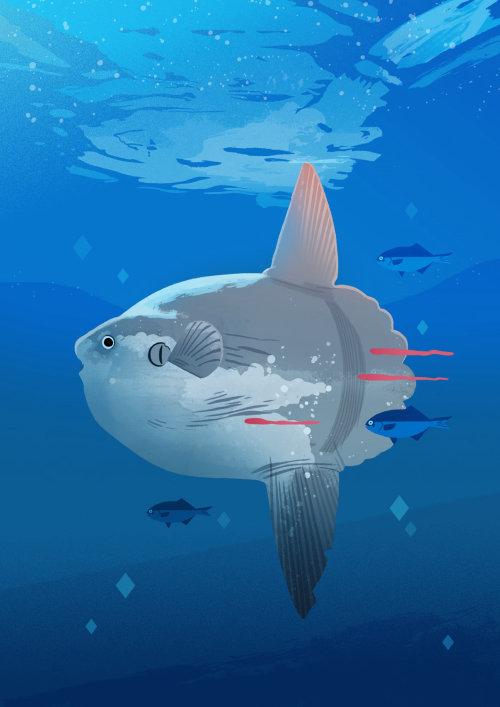 An illustration of Ocean Sunfish
