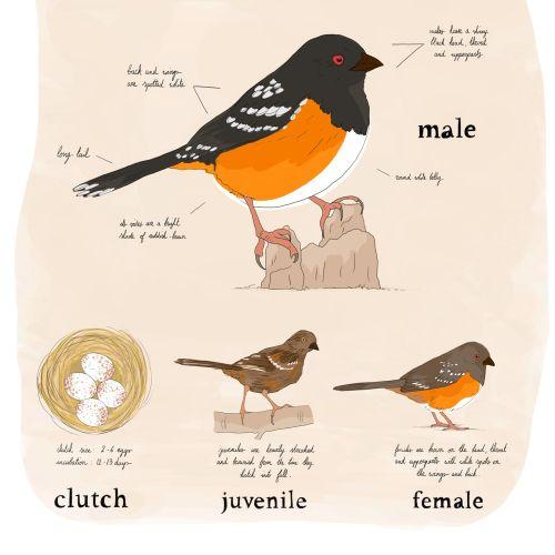 Animal Eastern Towhee bird description anatomy