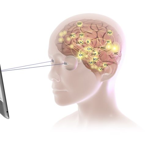 Medical illustration of human brain