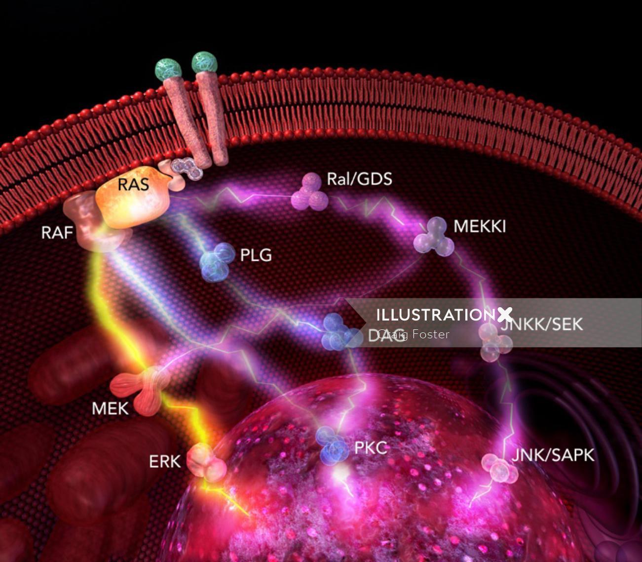 An illustration of protein pathways