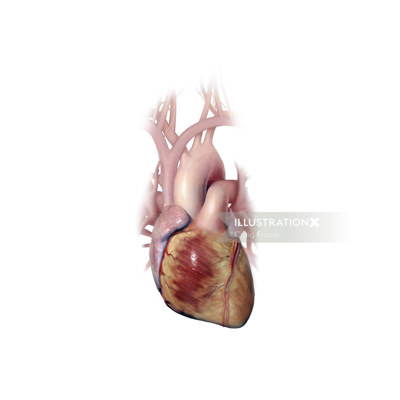 Heart illustration | Medical illustration collection
