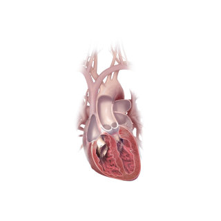 Heart section illustration