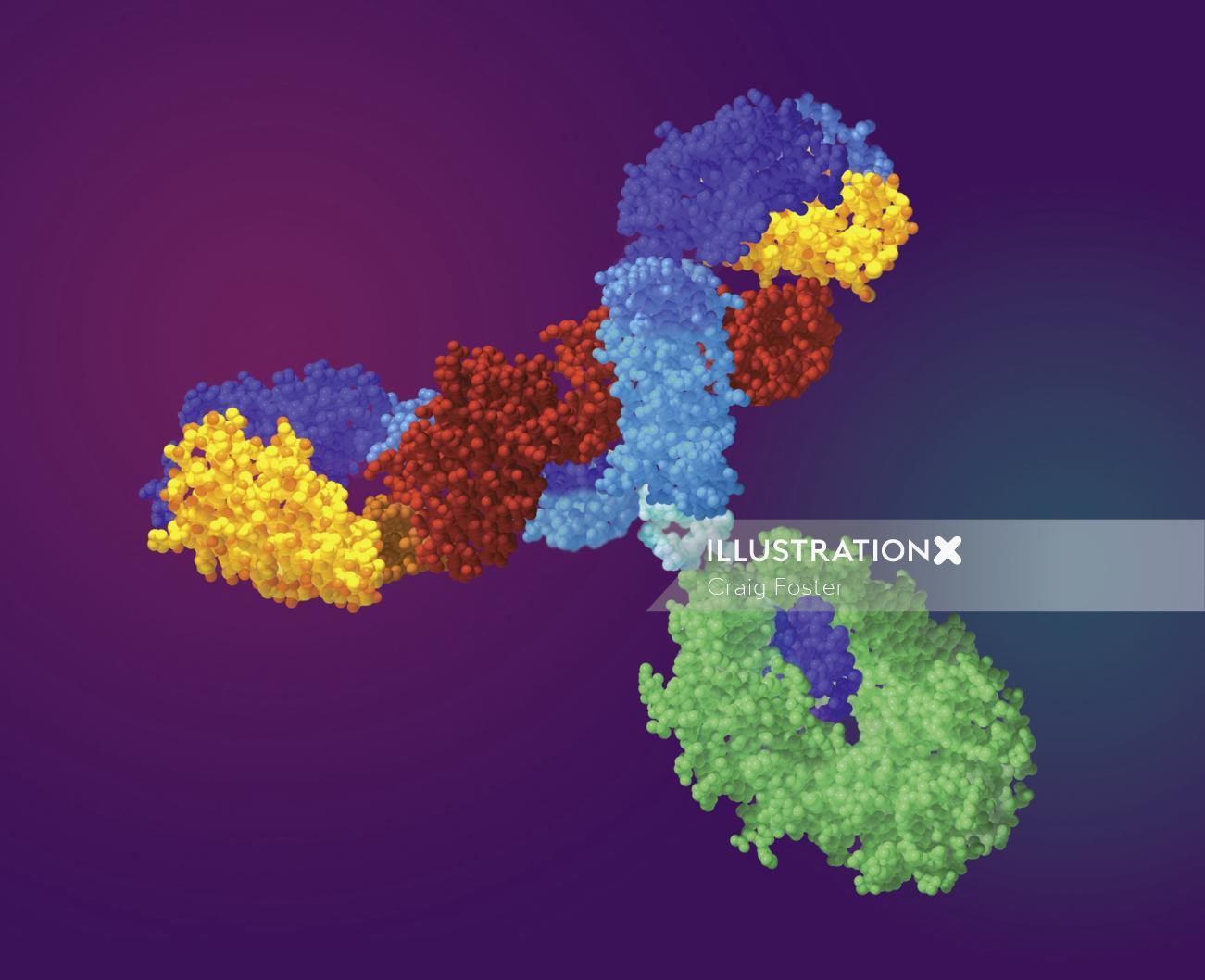 An illustration of antibody hr