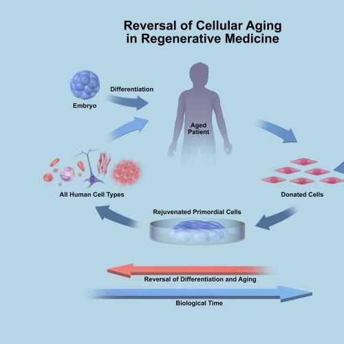 An illustration of Biotime cellular aging hr