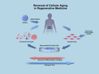 An illustration of Biotime cellular aging hr