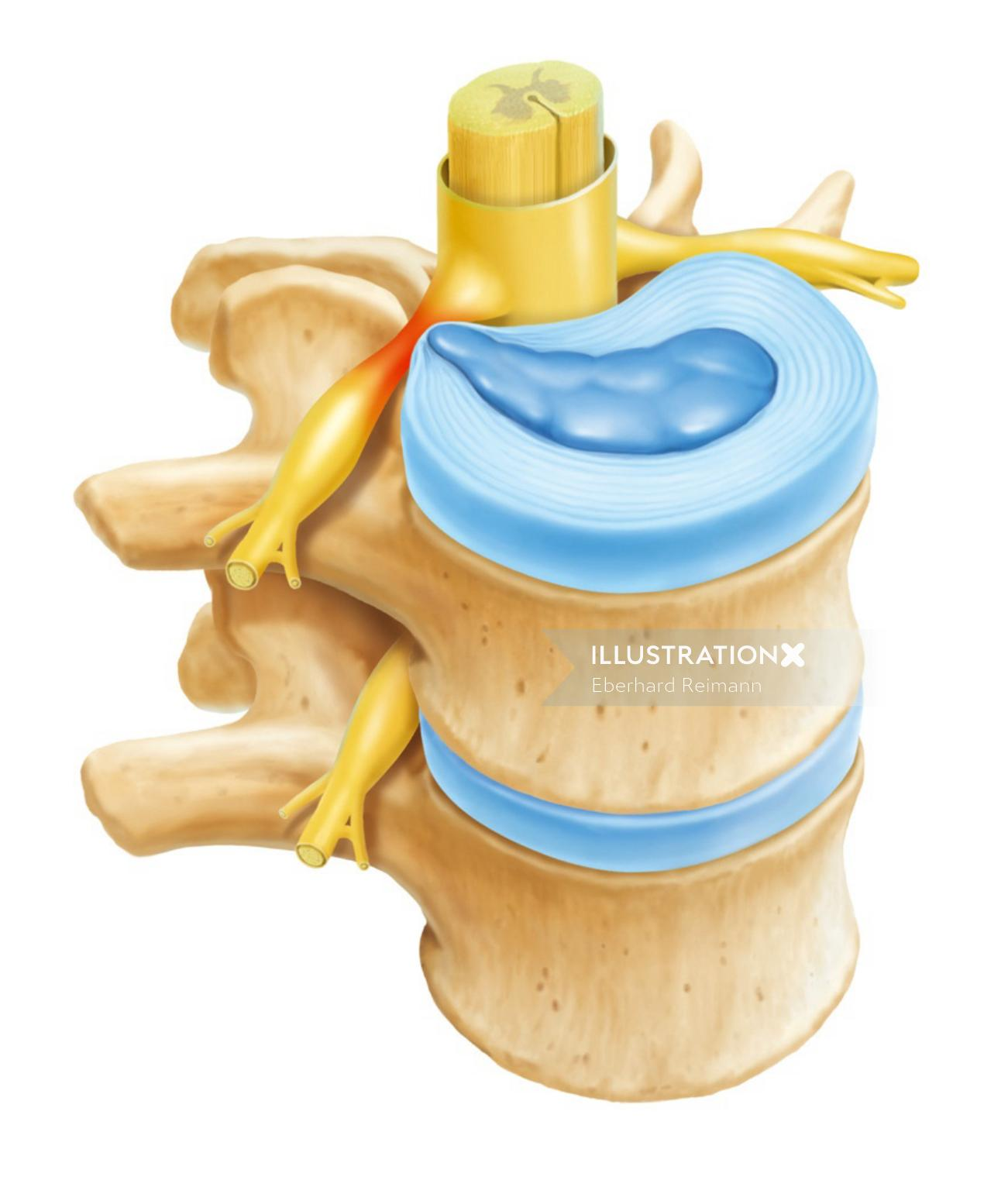 Backbone| Medical illustration collection