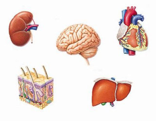 inside human organs illustration Eberhard Reimann