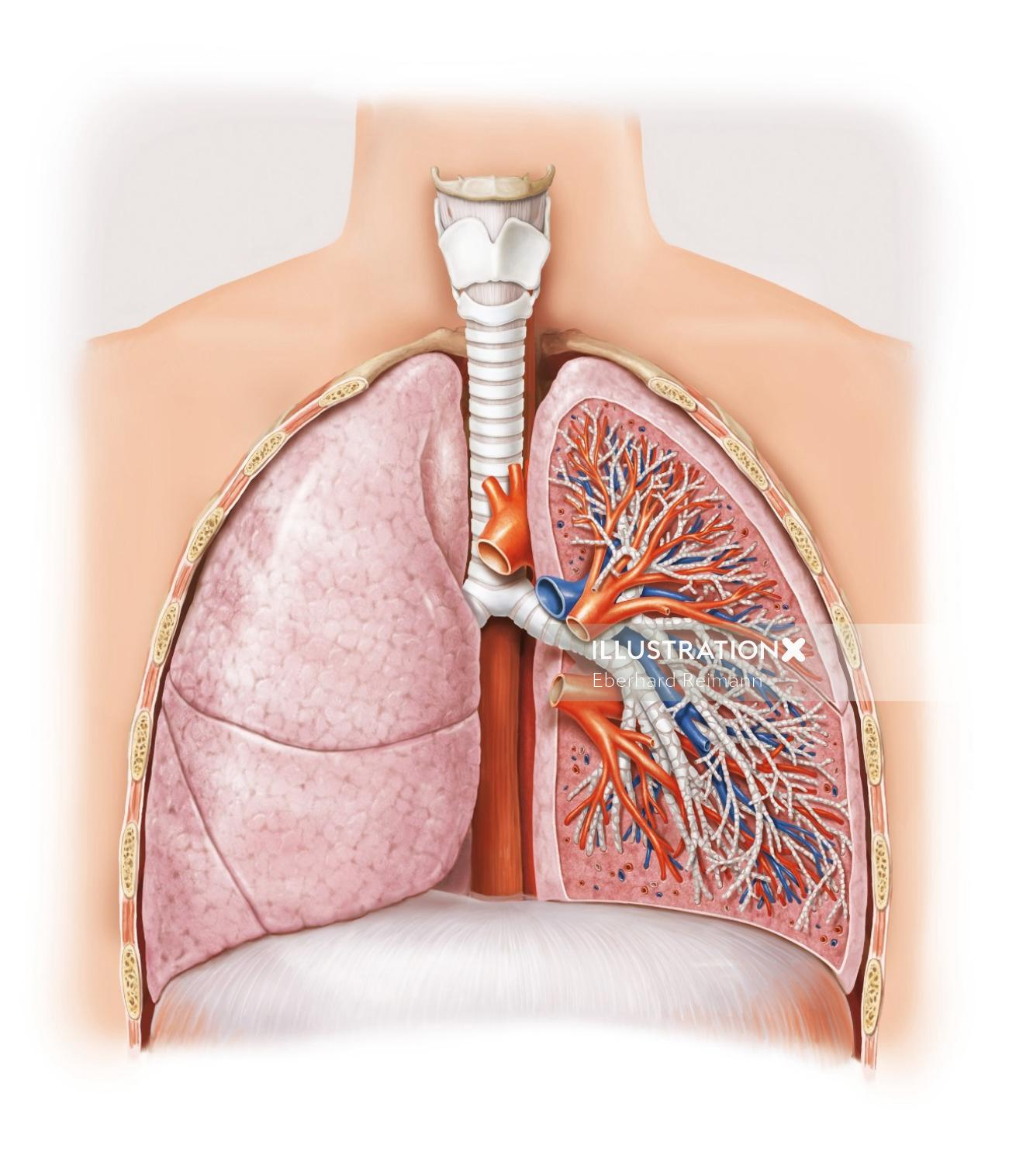 Lungs | Medical illustration collection