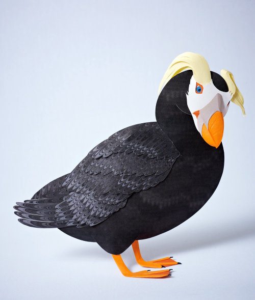 illustration of tufted puffin