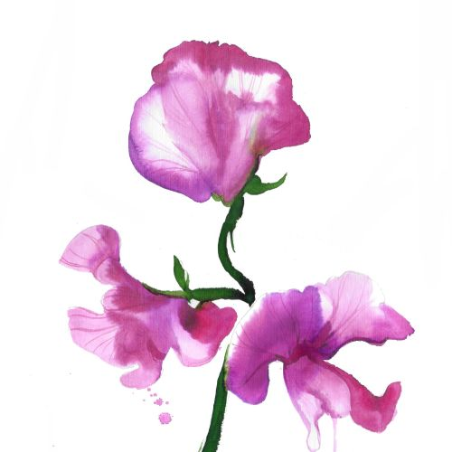 Watercolor flower sweet pea