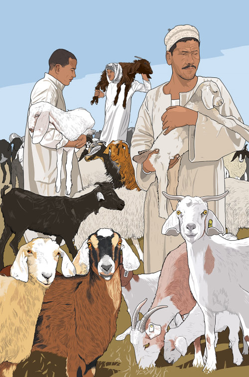 Lamb, Sheep market illustration
