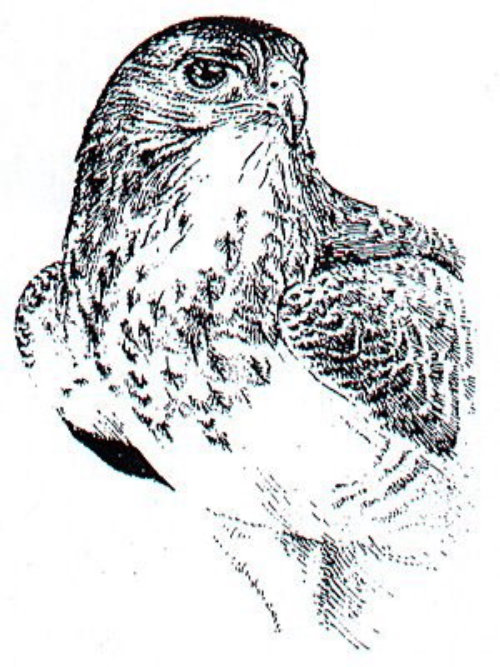 Black and white drawing of Eagle
