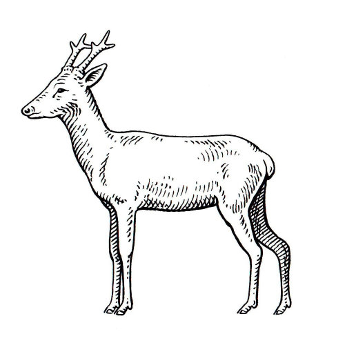 Deer Animal illustration